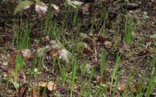 Камассия посадка и уход в открытом грунте Камассия блю мелоди Фото цветов в ландшафтном дизайне
