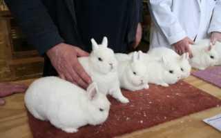 Кролик Гермелин: описание породы, уход и содержание, разведение карликовых или декоративных
