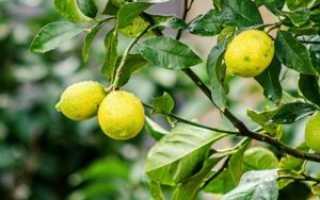 Секреты ухода за домашним лимоном зимой