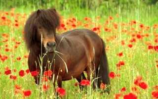 Шетлендский пони: фото, описание, характеристика