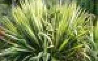 Юкка садовая: виды для открытого грунта с фото, особенности посадки, ухода и пересадки
