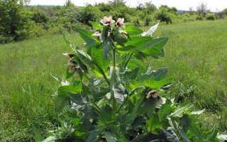 Белена черная — ядовитое растение, фото