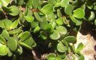 Портулакария: фото, виды и правила ухода за кустарником