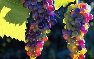Подкормка винограда весной, чем лучше удобрять, в том числе в Краснодарском крае, Подмосковье и других