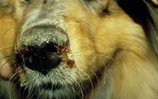 Чумка у собак: симптомы, лечение в домашних условиях