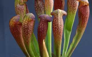 Саррацения уход в домашних условиях Растение хищник саррацения из семян