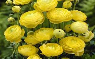 Лютики садовые (Ранункулюс): посадка и уход, фото, размножение и выращивание сорта в открытом грунте, сочетание