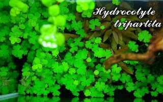 Аквариумное растение гидрокотила трипартита (hydrocotyle tripartita): внешний вид и содержание в аквариуме