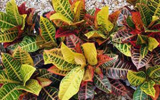 Цветок «Кротон»: фото, уход и выращивание в домашних условиях