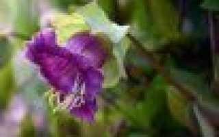 Кобея лазающая в саду: выращивание в домашних условиях из семя и фото цветка