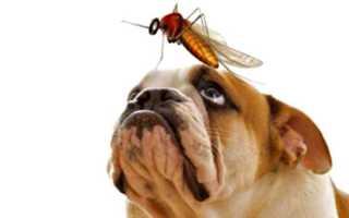 Лечение дирофиляриоза у собак, симптомы, диагностика, профилактика, наглядные фото