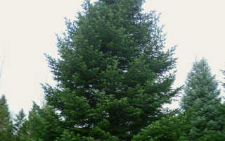 Пихта Нордмана или пихта кавказская: лучшее дерево для ландшафтного дизайна