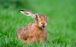 Чем питаются зайцы летом и зимой: описание вида и рациона