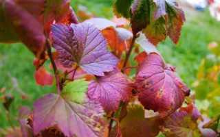 Уход за смородиной осенью, лучшие советы