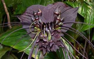 Такка – цветок «летучая мышь»