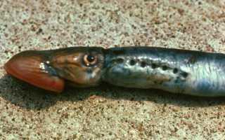 Рыба минога речная: фото и описание
