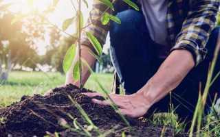 Особенности подкормки плодовых деревьев и кустарников весной