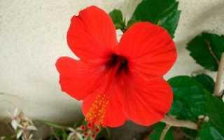 Китайская роза или гибискус: что это за цветок, каково его научное название, какие у него
