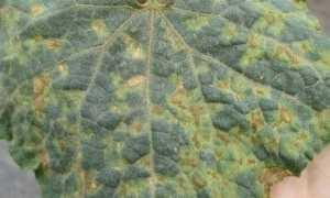 Желтые пятна на листьях огурцов: что делать и чем лечить