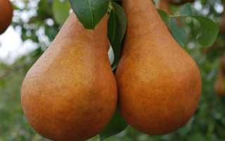 Подкормка груши осенью: этапы внесения удобрений, их виды