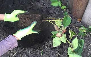 Посадка ежевики весной саженцами: пошаговая инструкция