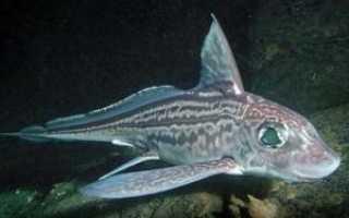 Рыба морской заяц (химера): польза и вред, рецепт с фото