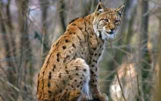 Как выглядит рысь обыкновенная, основные особенности подвидов и где обитает животное