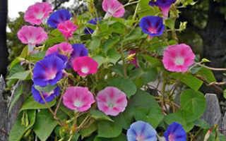 Цветок ипомея: посадка и уход, фото, выращивание из семян многолетних видов