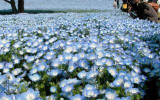 Цветок Немофила: описание, выращивание из семян, посадка и уход + фото