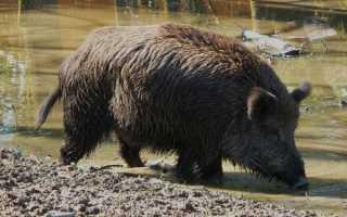 Что едят свиньи: рацион кормления, как и чем кормить в домашних условиях