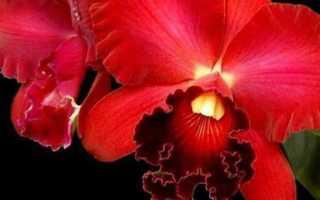 Красная орхидея: бывают ли растения такого цвета, их описание и фото, а также советы по