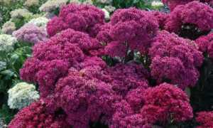 Седум ложный малиновый или «Пурпурный ковер»: описание, внешний вид очитка, особенности выращивания, в том числе