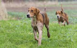 17 гончих пород собак: самые выносливые, их описание и стоимость щенков