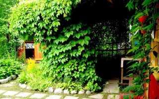 Лиана в саду (42 фото): многолетняя и однолетняя, декоративная, неприхотливая, вечнозеленая, цветущая, видео и фото
