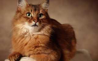 Сомалийская кошка — фото, характер, описание и цена породы