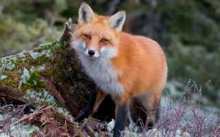 Лисица обыкновенная (рыжая): описание, где живет, чем питается