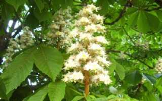 Конский каштан: описание дерева, особенности выращивания и ухода, способы размножения