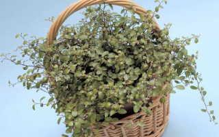 Мюленбекия уход в домашних условиях Размножение черенками Выращивание из семян