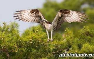 Хищная птица скоп: описание вида и среда обитания птицы, ее фото, питание и размножение