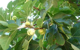 Как цветет инжир: немного из истории растения, особенности цветения, условия получения высокого урожая