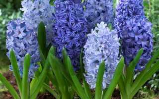 Домашние гиацинты и в открытом грунте: многолетние цветы на фото, как цветет растение гиацинт в