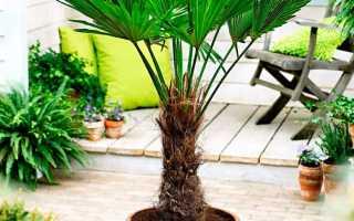 Трахикарпус пальма, которую можно выращивать дома