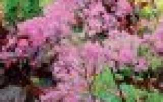 василистник: посадка и уход, сорта, выращивание из семян + фото в саду
