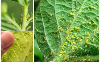 Тля на комнатных растениях: как бороться в домашних условиях