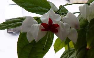 Клеродендрум: уход в домашних условиях, стимуляция цветения, обрезка