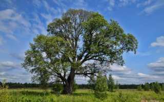 Дерево вяза википедия: описание, как выглядт его листья и плоды, разновидности и фото