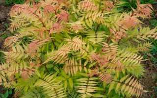 рябинник рябинолистный выращивание и уход в открытом грунте, посадка и размножение сорта сочетание в ландшафтном