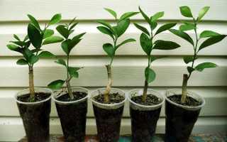 Черенкование лимона в домашних условиях: как размножить