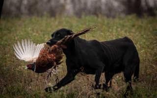 Охота с биглем на зайца и утку, охотничьи качества собаки