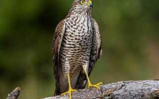 Семейство Ястребиные (Accipitridae) представители семейства список птиц